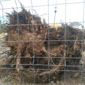 Ciudadanos pide explicaciones al Ayuntamiento de Arona sobre los motivos de la tala de los árboles del Parque Urbano La Trujilla