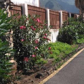 Ciudadanos pide al Ayuntamiento de Agaete que sustituya las adelfas plantadas en espacios públicos por ser altamente venenosas