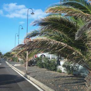 Ciudadanos denuncia la falta de mantenimiento y el mal estado de las palmeras de Costa Teguise