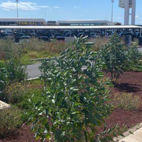 Ciudadanos exige que se solucione la falta de mantenimiento y el mal estado de los jardines del Aeropuerto César Manrique